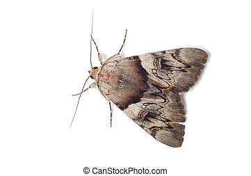 Light Crimson Underwing moth - Probably Light Crimson...