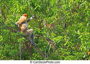 Proboscis monkey in the mangrove in Labuk Bay, Borneo