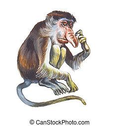 Proboscis Monkey (Nasalis larvatus), Monyet Belanda, Long-nosed Monkey.