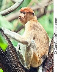 Proboscis monkey (Nasalis larvatus) or long-nosed monkey