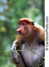 Proboscis monkey - Proboscis Monkeys, Nasalis larvatus, or ...