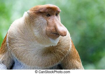 Proboscis monkey - A rare proboscis monkey in the mangrove,...