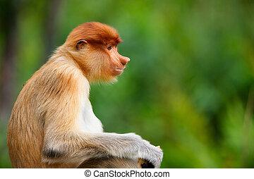 Young male proboscis monkey in a wild on Borneo island in Malaysia