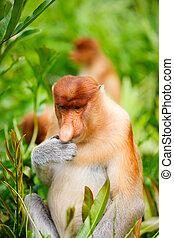 Young male proboscis monkey eating fresh green leaves