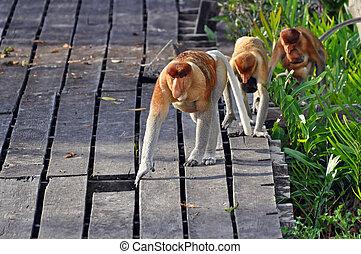 Proboscis monkies looking for fruits near Kota Kinabalu, Borneo.