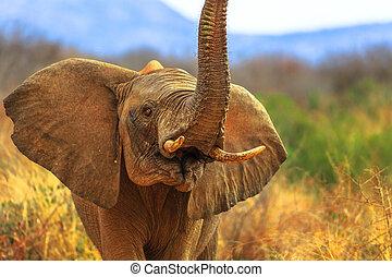 Proboscis of African Elephant