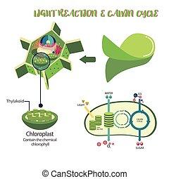 proces, diagram, photosynthesis