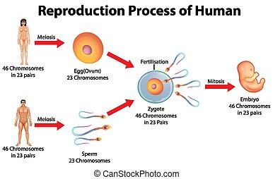 proceso, humano, reproducción