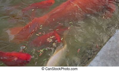Process of feeding the koi carp in the pond