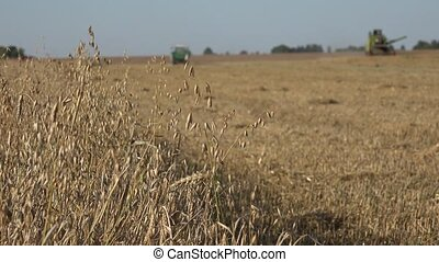 process of harvesting with combine, gathering mature oat grain crops from field. 4K