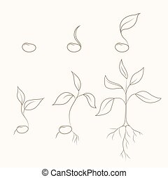 Process of kidney bean plant evolution and growth
