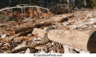 Processionary caterpillar line - Closeup view of...