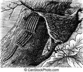 Processionary Caterpillar vintage engraving - Processionary...