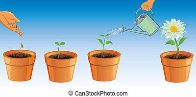 processo, de, crescendo, flores