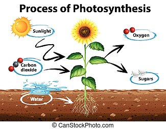 processo, diagrama, mostrando, fotossíntese, girassol