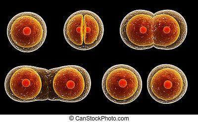 processus, division, cellule