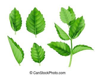 prodotto, natura, odore, mentolo, leaves., realistico, vettore, sagoma, fresco, menta, menta verde