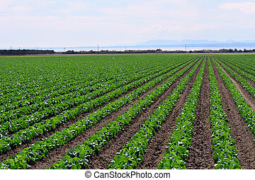 Produce Crops growing near the Salton Sea in the Coachella...