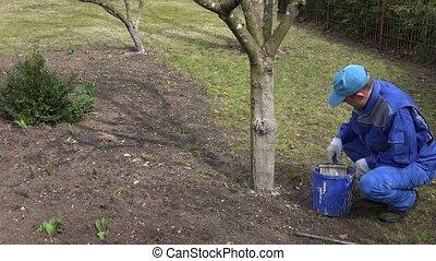 Professional gardener whitening fruit apple tree trunk with chalk