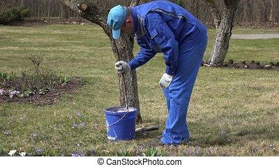 Professional gardener whitewashing fruit apple tree trunk with chalk