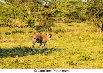 profiel, antilope, savanne, park, gezien, samburu