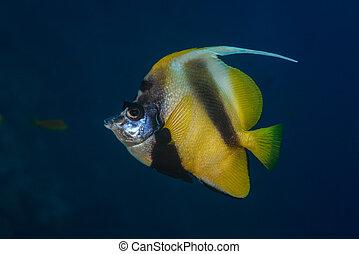 profiel, bannerfish, rode zee
