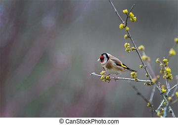 profiel, verticaal, goldfinch