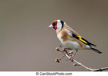 profiel, verticaal, goldfinch, winter