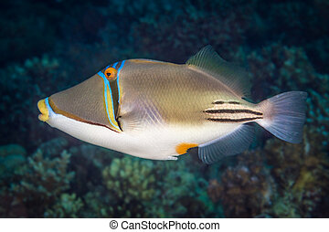 profiel, verticaal, picassofish