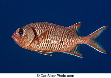 profiel, verticaal, soldierfish