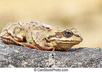 profil- ansicht, von, gemeinsam, brauner, frosch