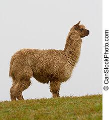 profil, brązowy, Alpaka