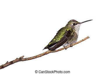 profil, branch;, fond, perché, blanc, colibri