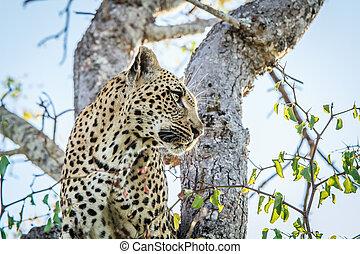profil, côté, leopard.