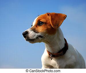 profil, cachorro, russel, gato