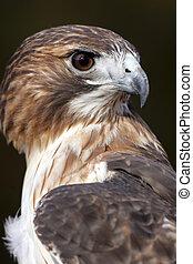profil, faucon, rouges, filé
