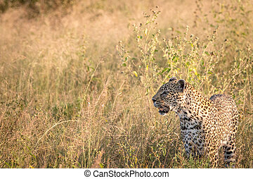 profil, grass., léopard, côté