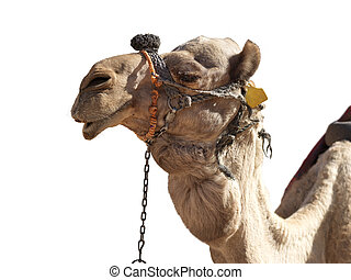 profil, grinsen, glücklich, freigestellt, kamel