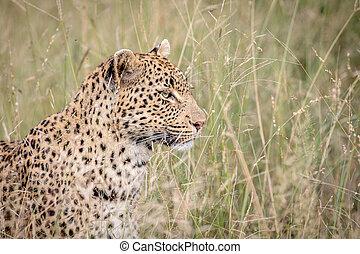 profil, kruger., léopard, côté