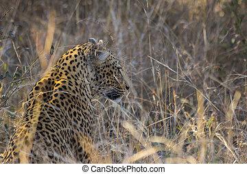 profil, léopard, long, 1, herbe, côté