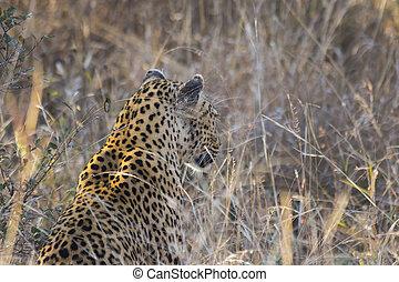 profil, léopard, long, 2, herbe, côté