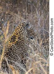 profil, léopard, long, 3, herbe, côté