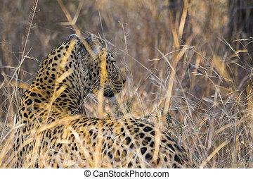 profil, léopard, long, 4, herbe, côté