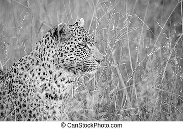 profil, léopard noir, white., côté