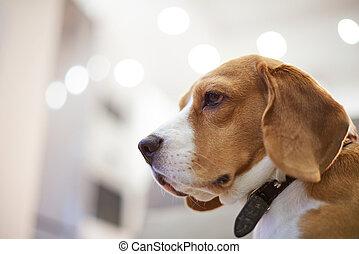 profil, porträt, von, beagle, hund