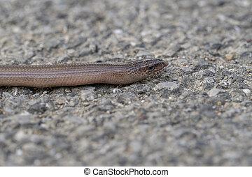 profil, reptil, langsam, oder, taub, wurm, blindworm, gesicht, eurasia., slowworm, anguis, adder., zunge, fragilis, aka, aus., gebürtig