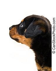 profil, rottweiler, sida