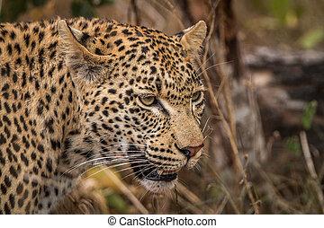 profil, sabi, léopard, côté, sands.