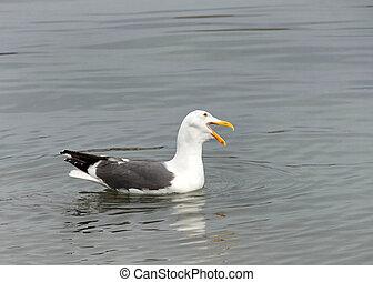 Profile California Gull in shallow water