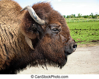 bison - Profile of a bison.